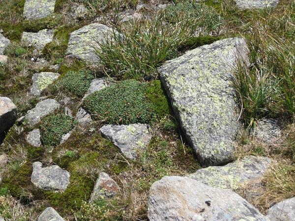 alpine veg