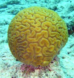 Brain coral (Wikipedia)
