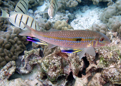 Cleaner wrasses on a goatfish