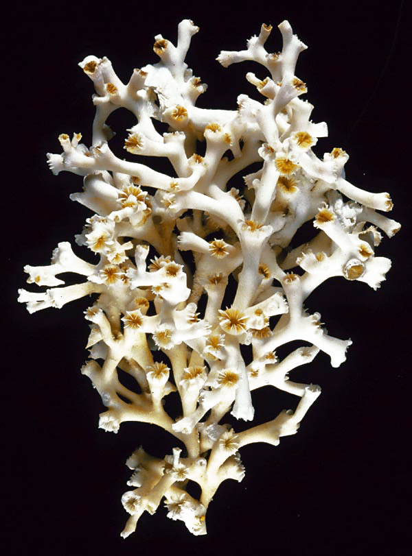 Lophelia pertusa, a cold-water coral lacking symbiotic algae and hence color. (NOAA)