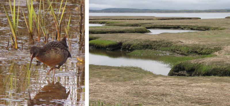 Left: Clapper Rail (Wikipedia Commons); Right: Winter marsh at Plum Island, MA.