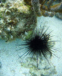 Sea_Urchin_sm