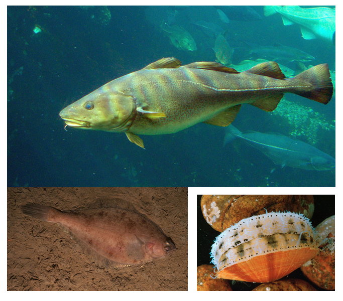 Top: Atlantic cod (Wikipedia); Bottom left: Flounder (Dann Blackwood,  USGS); and Bottom right: Atlantic sea scallop (Dann Blackwood, USGS)