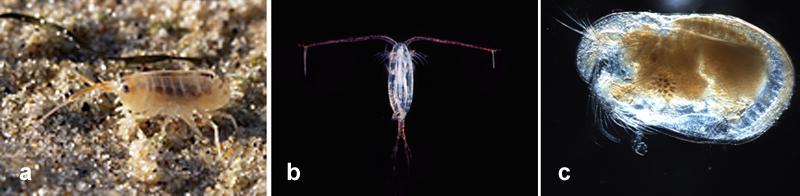 a. beachflea (amphipod); b. copepod; c. ostracod (All  from Wikipedia Commons)