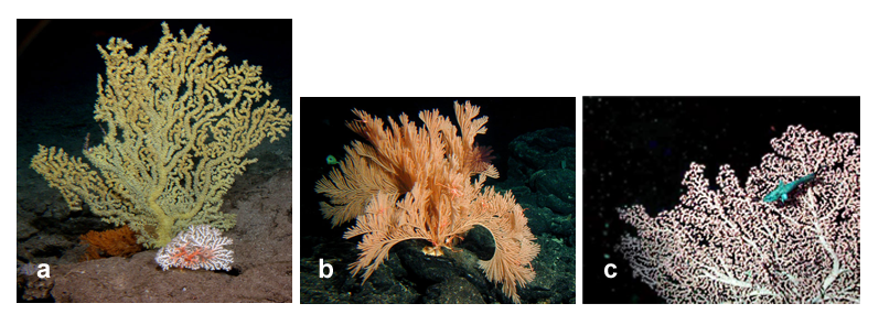 Cold-water corals: a. gold coral and pink coral; b. an octocoral; c. bubblegum coral with grenadier (all photos courtesy of NOAA)