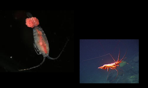 Left: Copepod (Russ  Hopcroft, NOAA) ; Right: Deep sea shrimp (NOAA)