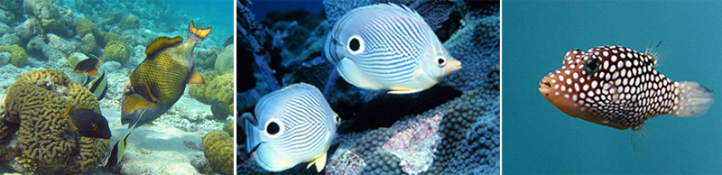 Left to right: Triggerfish, foureye butterflyfish, pufferfish (all photos from Wikipedia Commons)