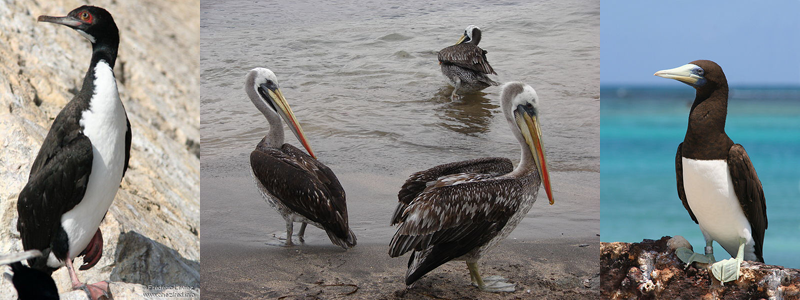 Guano birds, left to right: Guanay Cormorant, Peru (Wikipedia); Peruvian Pelican (Jason Quinn/Wikipedia); Brown  Booby (Duncan Wright, USFWS/Wikipedia)