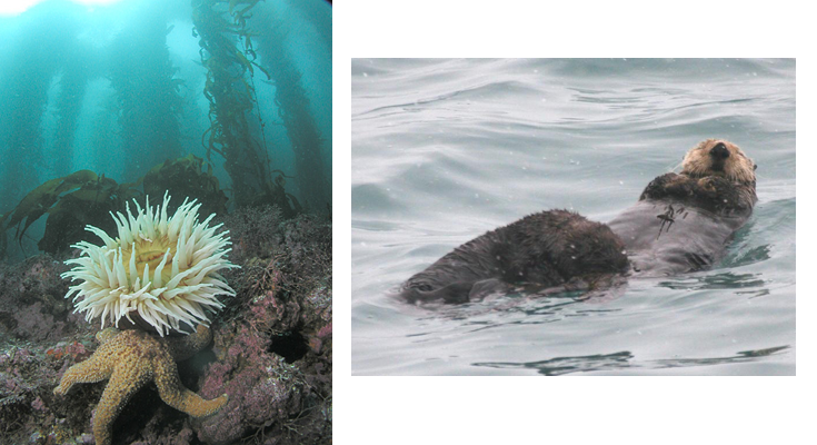 Left: Anemone and starfish in kelp Forest (Wikipedia Commons); Right: Sea otter with young (Caleb Slemons, bugwood.org)