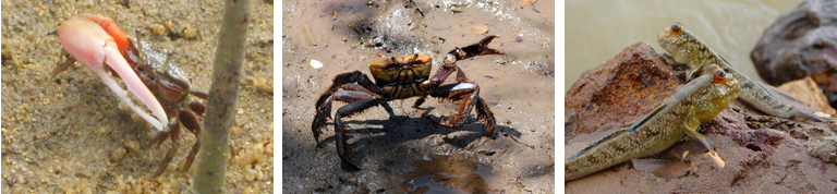 Left to right: Fiddler crab, mangrove crab (Wikipedia Commons), mudskipper (Wikipedia Commons)