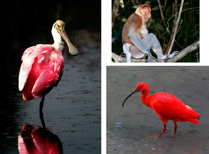Left: Roseate Spoonbill (Wikipedia Commons); Upper right: Proboscis Monkey (David Dennis, Wikipedia Commons); Lower right: The endangered Red Ibis (Wikipedia Commons)
