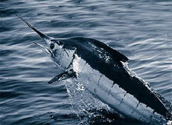 Atlantic blue marlin demonstrates countershading in fish of the epipelagic zone. (NOAA)
