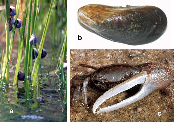 a. Marsh periwinkles (Wikipedia Commons; b. Ribbed mussel (USGS); c. Fiddler crab (NOAA)
