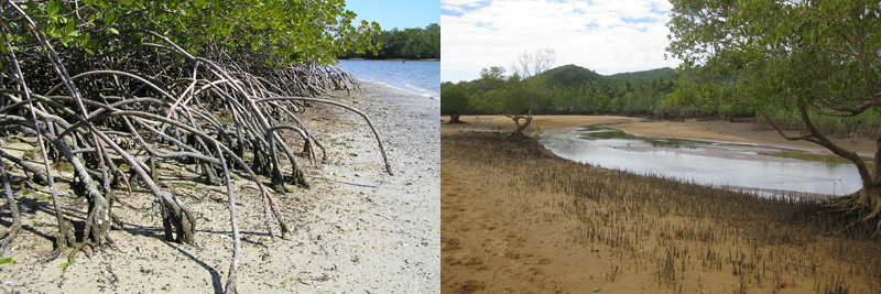 Left: Arching prop roots of red mangroves, the Everglades Wikipedia Commons); Right: Upright, pencil-like pneumatophores of black mangroves. Madagascar