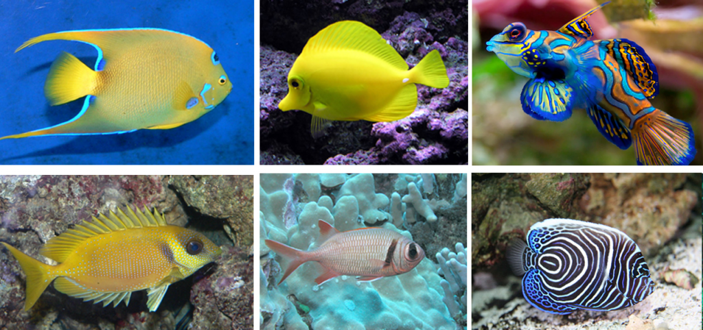 Top, left to right: Queen angelfish, surgeonfish, mandarinfish; Bottom, left to right: Rabbitfish, squirrelfish, juvenile emperor angelfish (all photos from Wikipedia Commons)