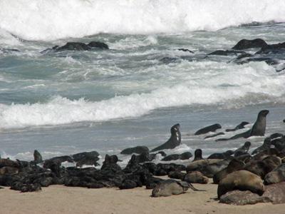 Sea lions on coast of Namibia