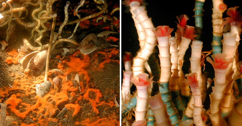 Left: Orange  mat of Beggiatoa bacteria (NOAA);  Right: Tube worms at a cold seep (NOAA)