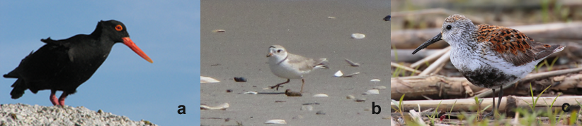 a. Black Oystercatcher (South Africa); b. The rare and endangered Piping Plover (New Jersey); c. Dunlin-a sandpiper (Ontario, Canada) (Wikipedia Commons)
