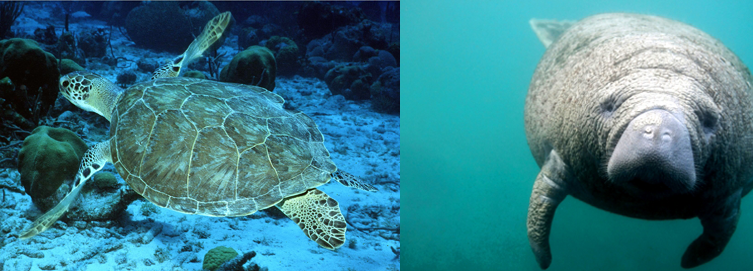 Left: Green seaturtle; Right: West Indian manatee