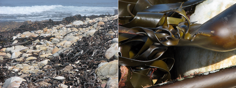 Wrack along beach at Cape of Good Hope; close-up showing rubbery nature of kelp.