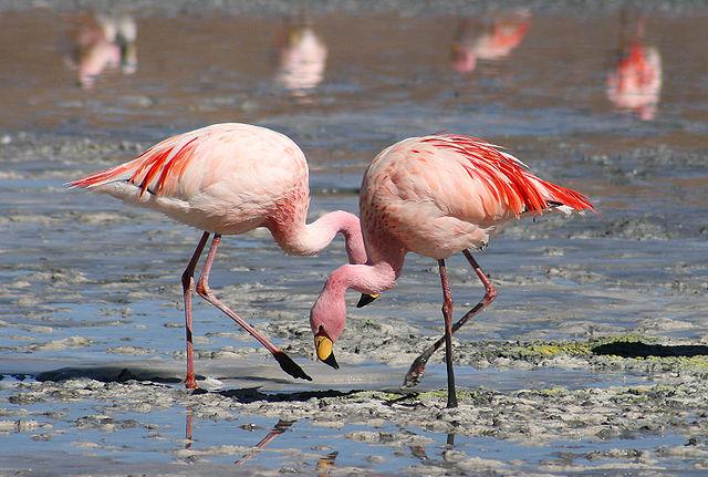 640px-Flamingos_Laguna_Colorada