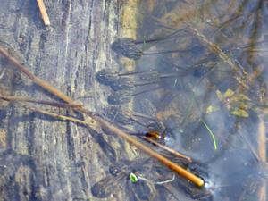 Wood frog tadpoles