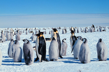 Emperor Penguins, adults and juveniles. Photo courtesy of  NOAA